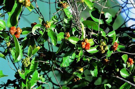 拉丁学名 morindae officinalis