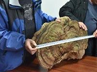 湖南村民发现十多斤野生大灵芝
